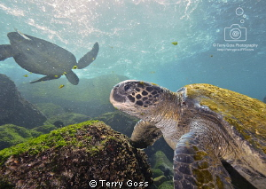 The Salad Bar is Now Open - Chelonia mydas, a group of th... by Terry Goss 